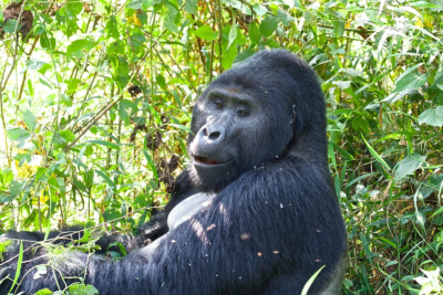 Up close with a gorilla on tour with East Africa Wild