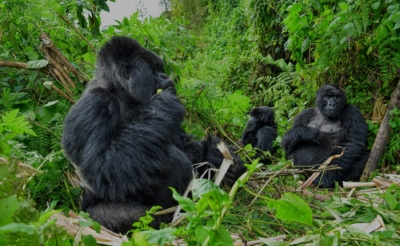 Uganda Gorilla Hike with East Africa Wild Adventures