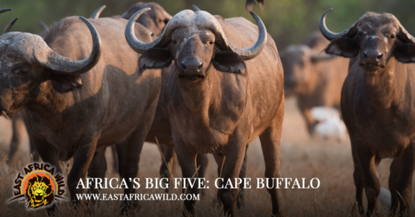 Africas Big Five Safari Animals - Cape Buffalo