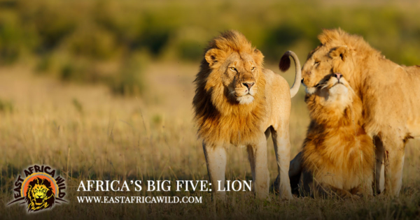 Africas Big Five Animals Lion