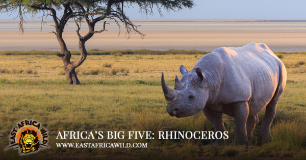 Africas Big Five Animals Rhinoceros