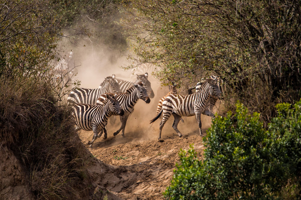 Great Migration Africa Zebras