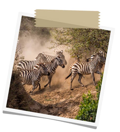 African Great Migration Tours - Zebras